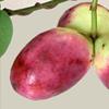【不老不死の果実「むべ」】滋賀県近江八幡市などで栽培される伝説の果実
