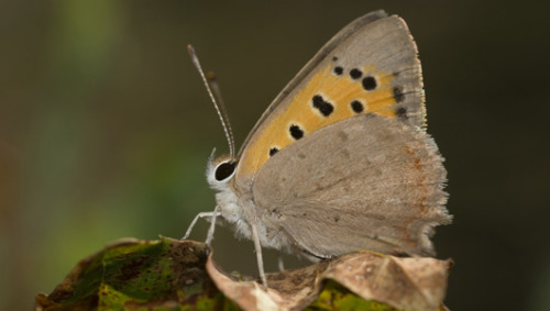 Not now, dear: Female butterfly closes wings to avoid sexThe small copper butterfly mates only once in its life and then closes its wings to avoid 'harassment' when pursued by persistent males.