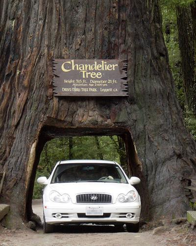 The Chandelier Tree, also known as the drive-thru tree, is a giant redwood located 175 miles north of San Francisco on US 101. The massive tree had the ignoble fate of having a tunnel carved through its base more than 60 years ago and is now the centerpiece of a 200-acre grove of redwoods. World's 7 most amazing trees