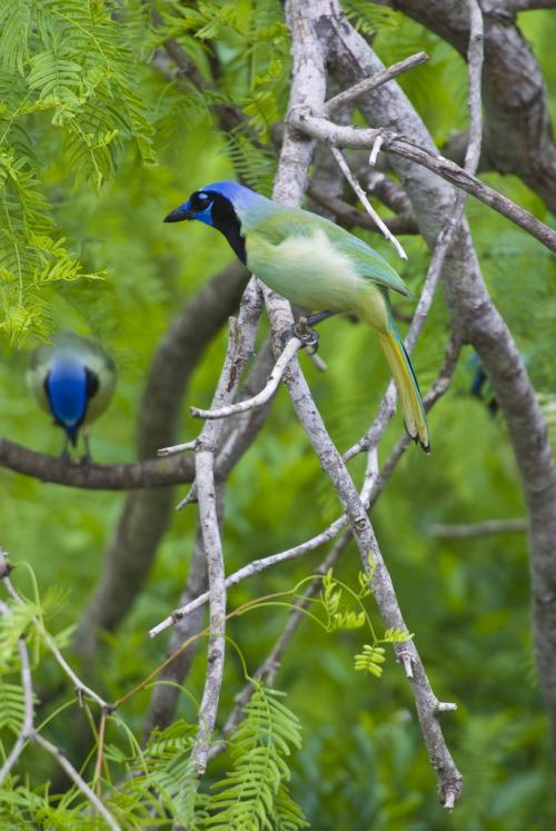 """En la punta más al sur de Texas, a lo largo de las orillas de la Laguna Madre, densas manchas de matorral espinoso lugar entre los únicos dunas de arcilla por el viento llamado """"Lomas"""" en el Refugio de Laguna Atascosa National Wildlife Refuge.  En una región de Texas, que algunos llaman el último hábitat grande, se mezcla con bosques espinosos humedales de agua dulce, praderas costeras, marismas y playas.  En este caso, el ocelote en peligro de extinción en silencio caza dentro de los matorrales, el venado cola blanca navegar en un banquete de las plantas, los Halcones de Aplomado elevarse por encima de las praderas y casi la mitad de todas las especies de aves (incluidos los Azulejos de verde en la foto de arriba) que se encuentran en los Estados Unidos continentales demás Estados, la alimentación, o el nido y migrate.Photo: CV Vick, USFWS"""