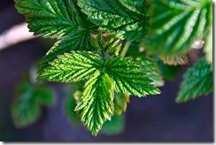 Framboisier - plante féminine