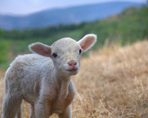 Lamb (by Blue Adept)