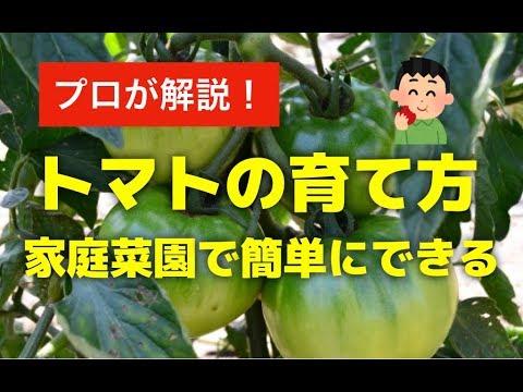 トマトを植木鉢プランターで育てる方法!家庭菜園で簡単にミニトマトも栽培できる