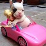 面白くてかわいいフレンチブルドッグの子犬のコンパイル
