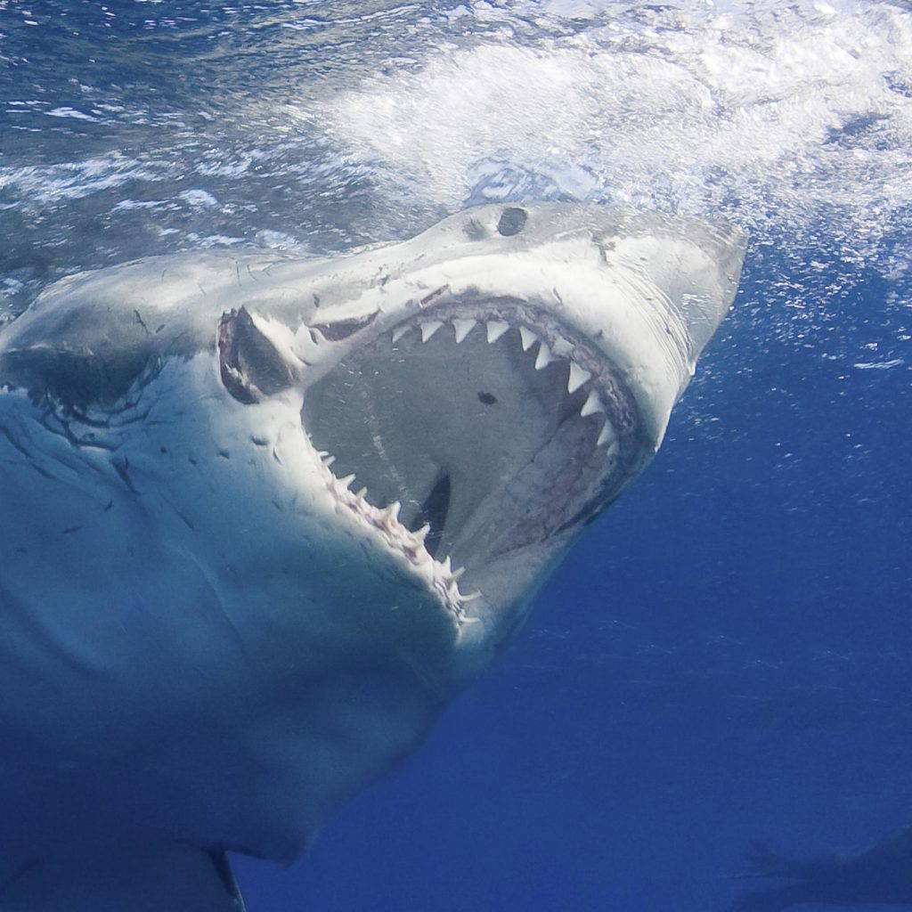 Here S Why You Ll Never See A Great White Shark In An Aquarium