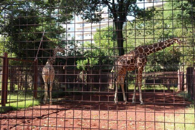 Giraffe at Ueno Zoo