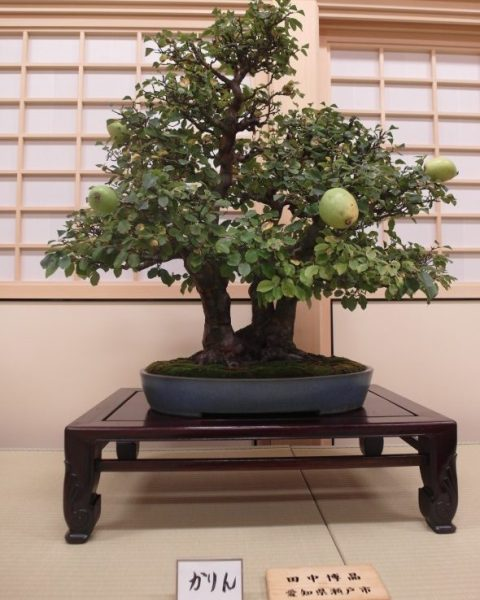 Miniature fruit bearing tree in Nagoya Castle Honmaru Palace