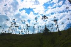 World tallest palms in Salento
