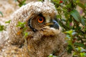 Cape Eagle Owlet