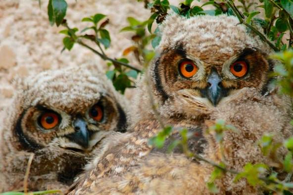 Cape Eagle Owlets