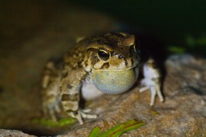 Toad singing for the girls