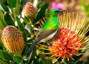 Lesser (Southern) Double Collared Sunbird