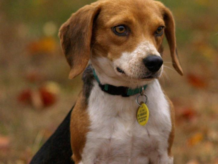 Beagle with collar and ID tags