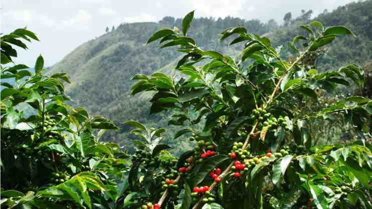 Jamaican Blue Mountain Coffee No 1 Guide: All You Need To Know