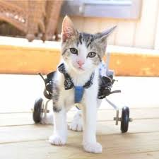 wheelchair for cats standing office chair meet rocky on wheels 2 and a blog posted in cat