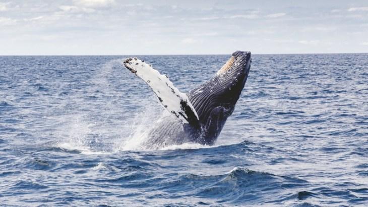 日本が捕鯨をする理由は? 的確過ぎる回答にシーシェパードもぐうの音も出ないwww