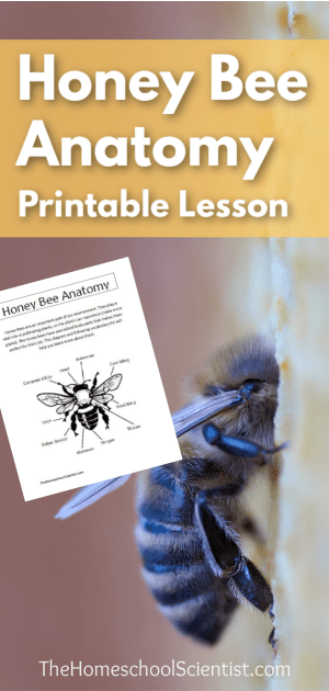 Honey Bee Anatomy Printable Lesson  The Homeschool Scientist