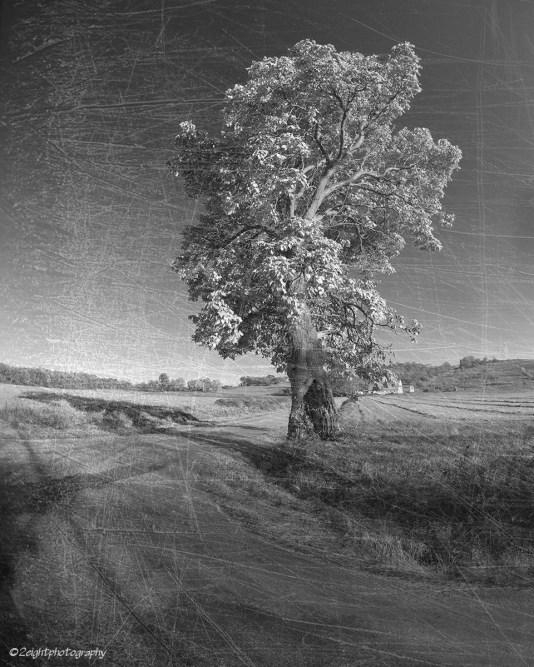 Livermore Tree