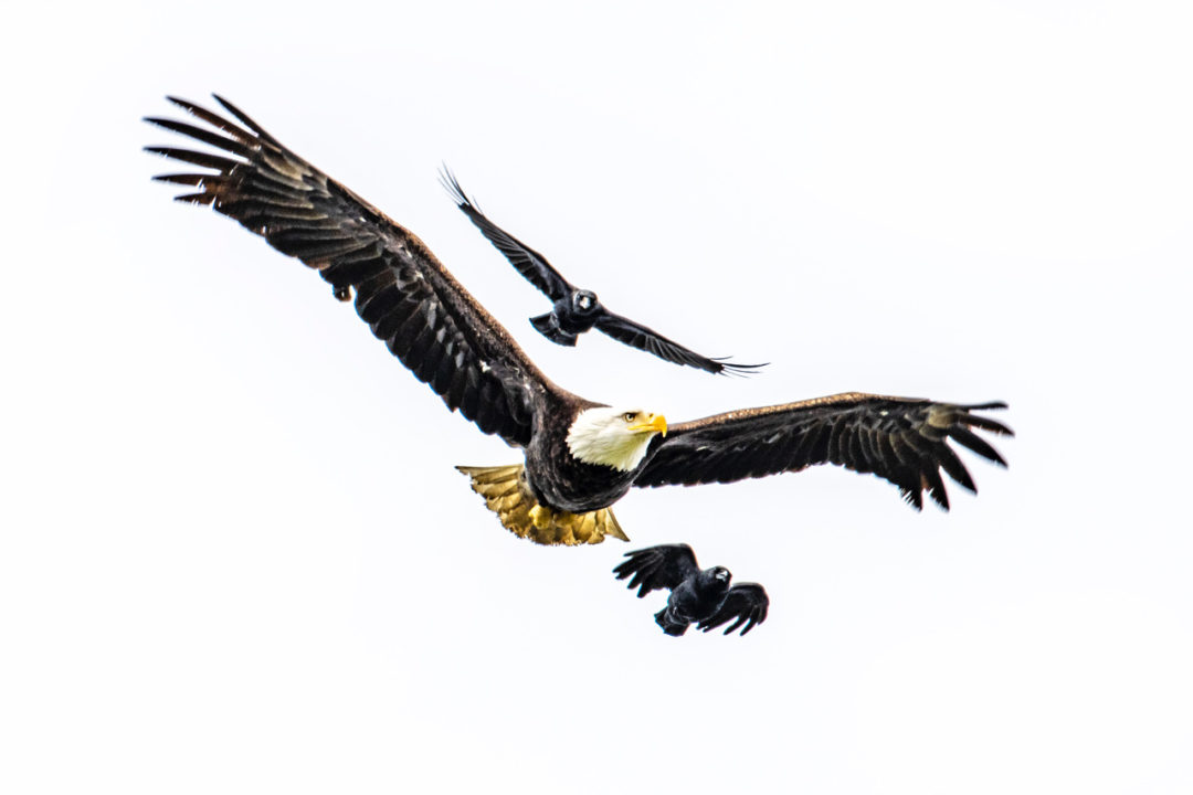 PHOTOS: Bald eagles battle crows in skies above Burien