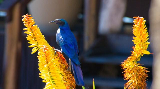 Blue bird - Arathusa Safari Lodge, South Africa