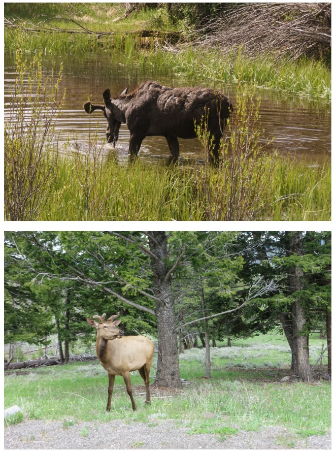 Young moose and a deer (?)  in Yellowstone National Park