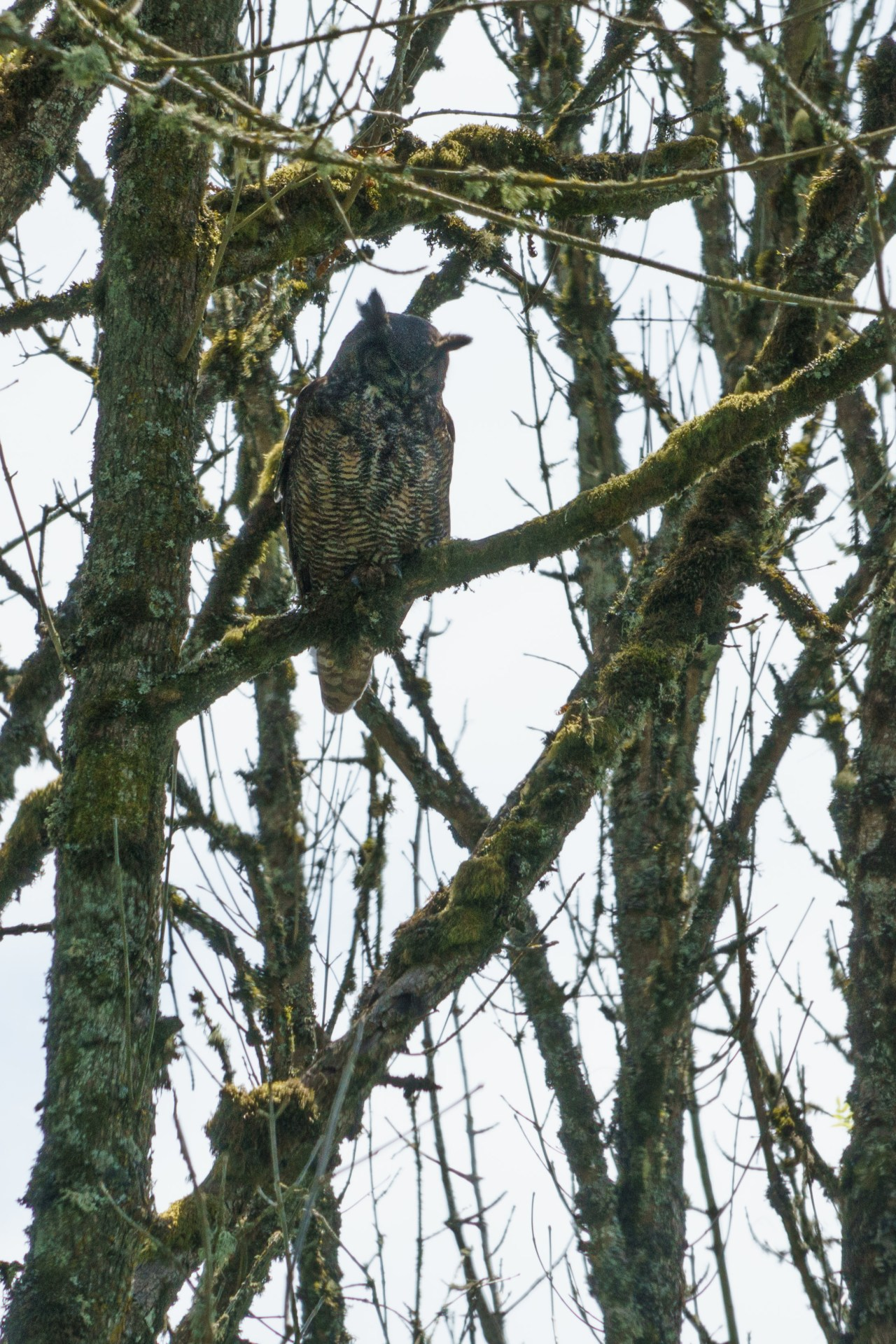 Great horned owl at the Ridgefield Bird Sanctuary