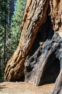 Old fire scars on a redwood tree - Sequoia National Park