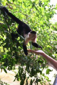 Nyfikna och matglada apor