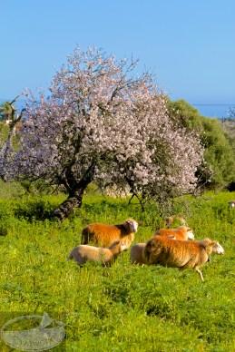 Mandeln, Schafe und Meer - fast schon kitschige Postkartenvorlage