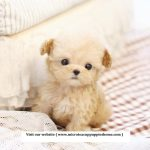 Micro Teacup Puppies For Sale From Top Breeder The Alaska Life