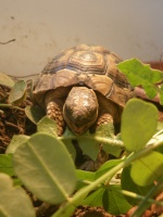 Tortue De Terre Morte Subitement : tortue, terre, morte, subitement, Symptôme, Tortue, Morte