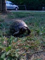 Tortue De Terre Morte Subitement : tortue, terre, morte, subitement, Comment, Sait-on, Qu'une, Tortue, Morte?