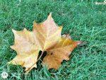 fallen brown leaf on green grass