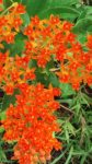 Asclepias tuberosa or Orange Milkweed