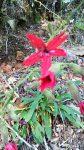 Fire Red Silene Virginica. native flowers, scarlet catchfly