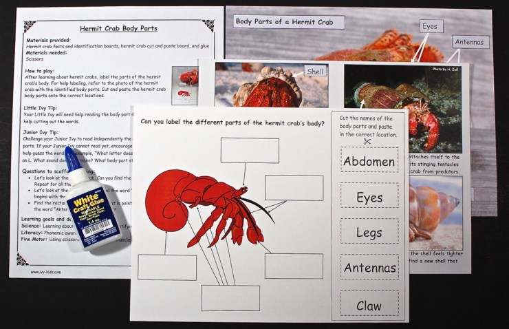 Hermit crab anatomy