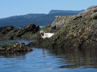 A seal sunbathing on the rocks off North Pender Island.