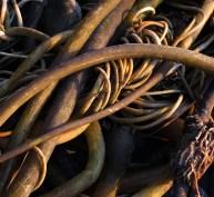 Bull kelp on the beach.