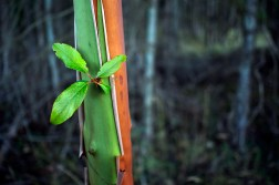 The red and green of a young arbutus tree.