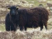 Hebridean Sheep, tehy seem to me more like goats.