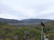 Opportunistic Currawong -he lucked out with us.