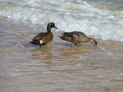 Ducks sifting through the sand and salt water.