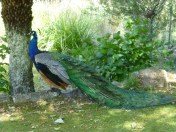 Peacock in the gardens, Cataract Gorge.