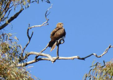 Eagle near the Darling at Bourke.