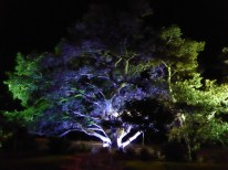 Illuminated Moreton Bay Fig Tree beside Moreton Bay.