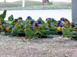 Rainbow Lorikeets feasting on bread thrown out at the Golf Course. :-(