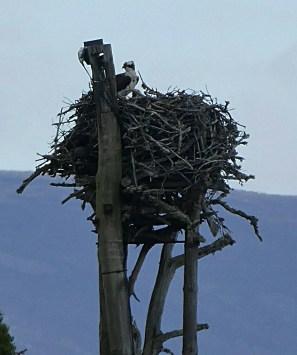 Female Osprey on the nest