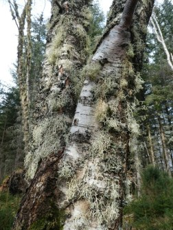 Mosses and Lichens growing on a Birch.