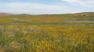 Fields of Gold Fields (Lasthenia californica)