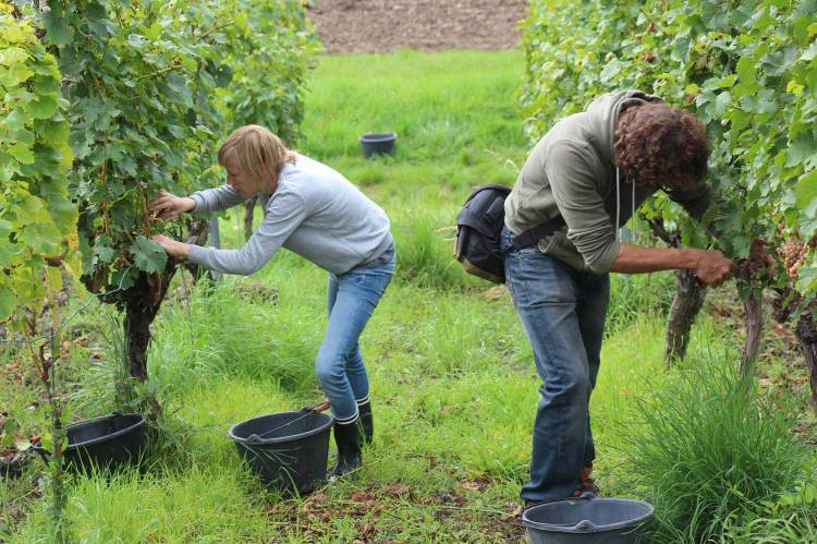 Melanie and Robin picking the grapes